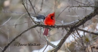 Cardinal and Junco Together