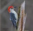 My Favourite! Red Bellied Woodpecker (Male)