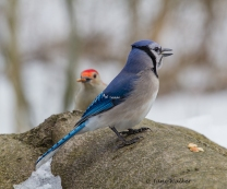 Blue Jay with Shy Red Bellied Woodpecker Looking On