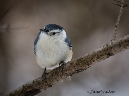 Curious White-Breasted Nuthatch