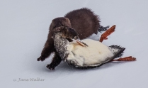 NZ2-Mink with Merganser-Nature Zoology2