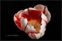 PL1-Parrot Tulip-Pictorial Entry2