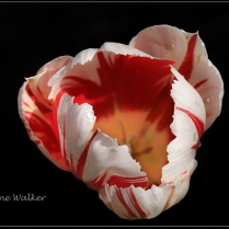 PL1-Parrot Tulip-Pictorial Entry2