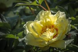 A Rare Yellow Peony