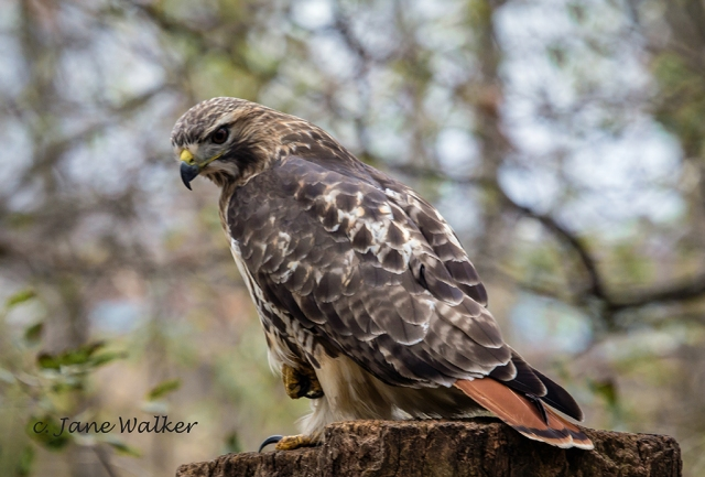 Red Tailed Hawk at Lynde Shores, Whitby.