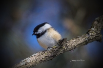 A Friendly Chickadee