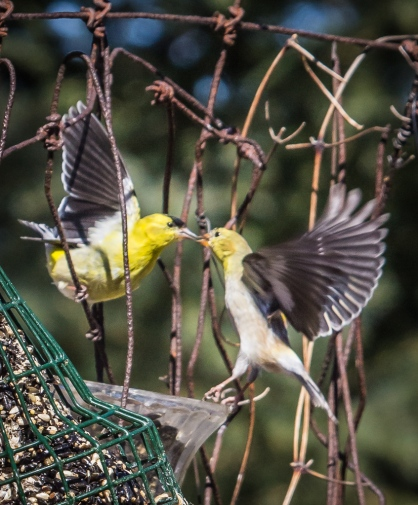 Male Goldfinch feeding female