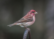 Purple Finch in Bird Garden