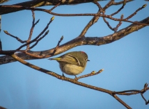 Ruby Crowned Kinglet in Wooded Area near the House