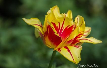 Monsella Tulip