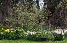 Viburnum Bush Surrounded by Daffodils and Trilliums