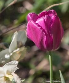 Deep Majenta Tulip