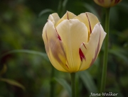 Light Yellow and Red Tulip