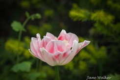 Pretty Pink Tulip
