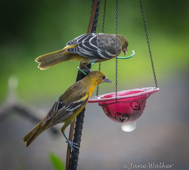 Juvenile Female and Male Baltimore Oriole