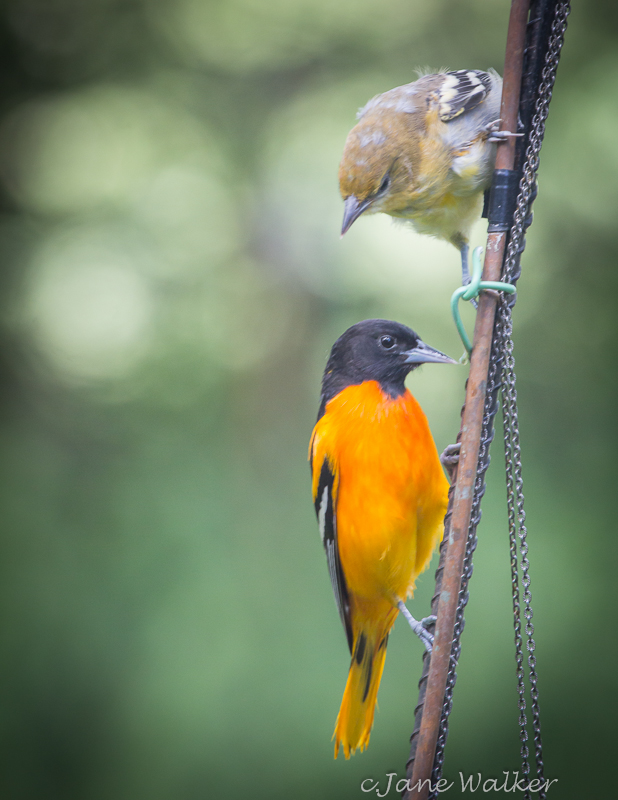 Male Baltimore Oriole and Baby