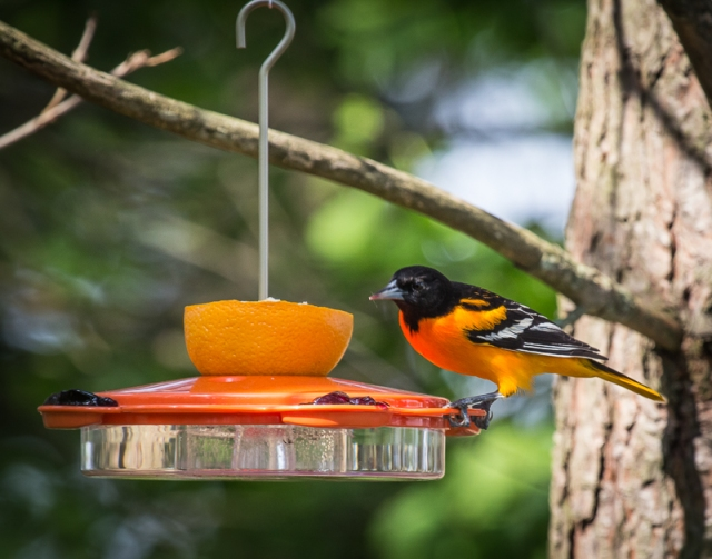 Male Baltimore Oriole at Oriole Feeder