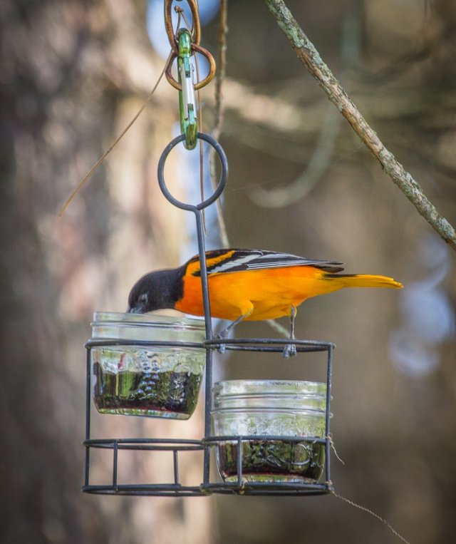 Male Baltimore Oriole Eating Grape Jelly