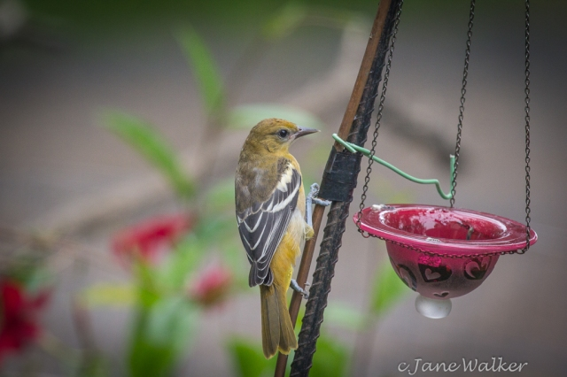 Young Baltimore Oriole