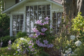 Clematis Near Sunroom