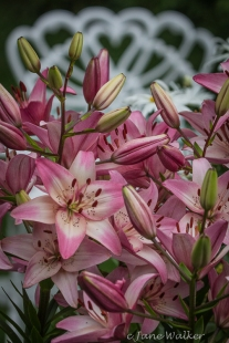 Pink Asiatic Day Lilies