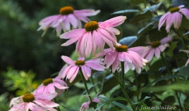 Pink Cone Flowers