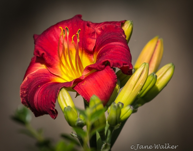 Red Day Lily