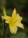 Yelllow Day Lily