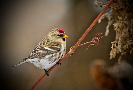 N2-Carduelis Flammea-188M for presentation