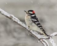 N2-Male Downy Woodpecker-188M for presentation