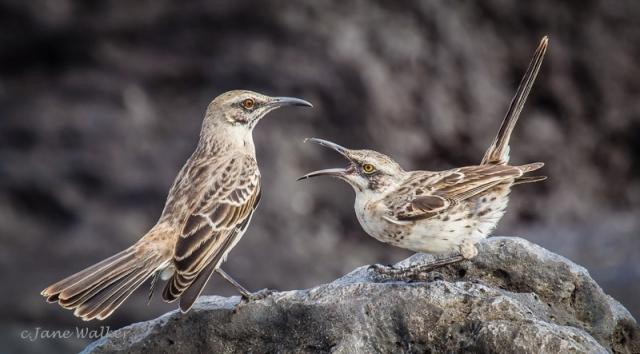 Espanola Mockingbirds Small