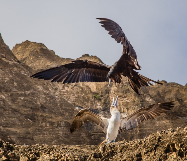 Great Frigatebird and Blue Footed Boobie