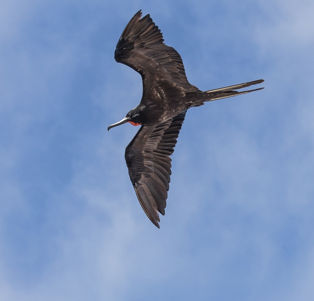 Great Frigatebird SMALL