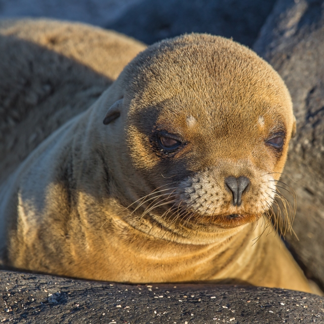Juvenile Galapagos Sea Lion