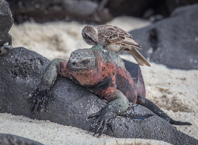 Mockingbird Eating Algae on Marine Iguana SMALL