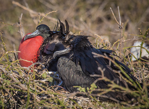 Pair of Frigate Birds