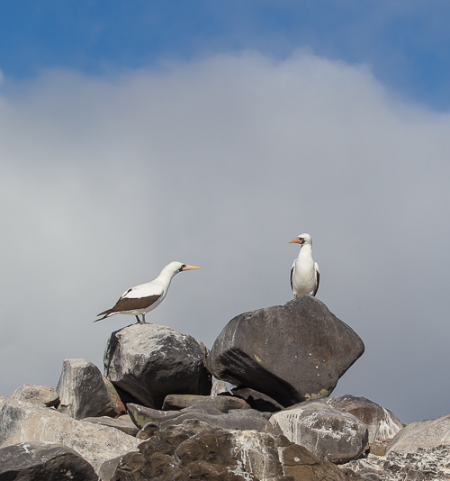 Pair of Nazca Boobies