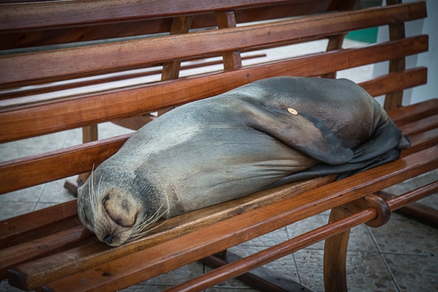 Sea Lion on the Bench Santa Cruz SMALL