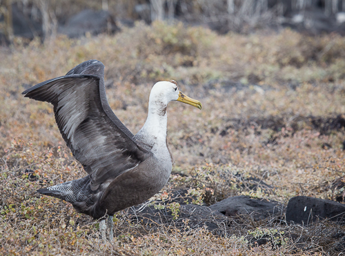 Winged Albatros