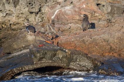 Galapagos Penguins